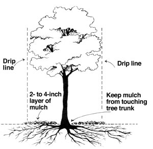 Image of a tree with mulch and the drip line.