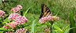Image of a tiger swallowtail butterfly