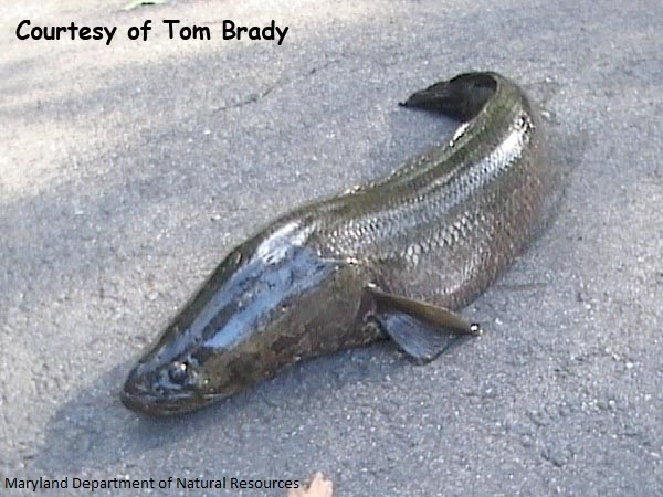 Image of Snakehead