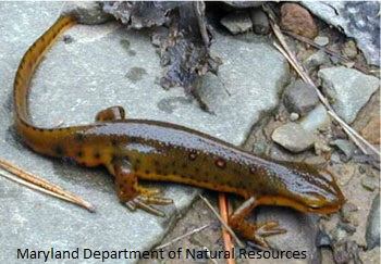 Image of Red Spotted Newt