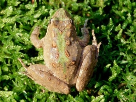Image of Northern Cricket Frog