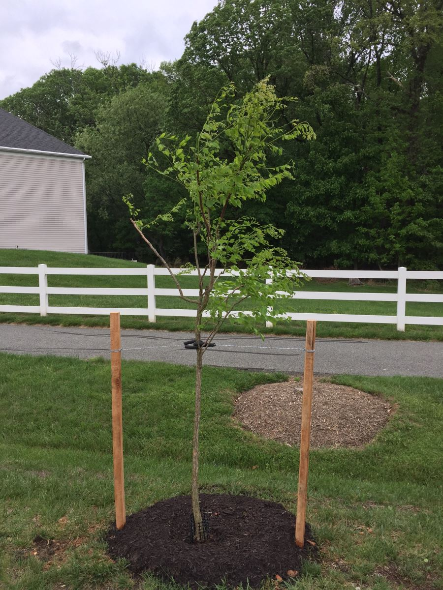 Montgomery County Tree Plant