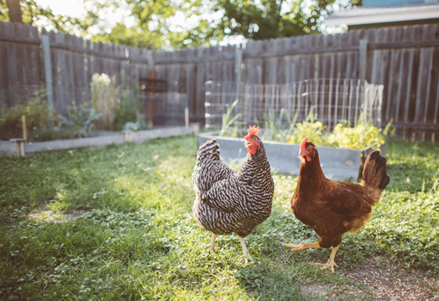 image of Backyard Chicken