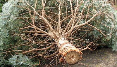 Dispose Christmas Trees