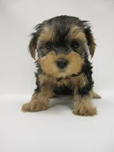 Puppy Purchased with Stolen Credit Card