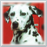 icon: photo of dalmation