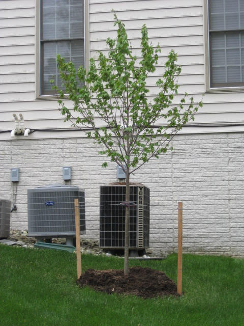 A newly planted tree