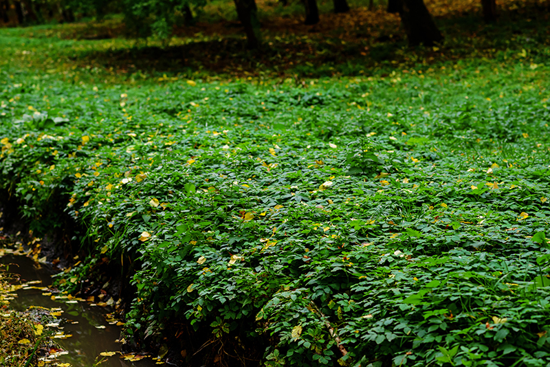 Mint used as groundcover. Photo by cezarfix 123RF Stock Photo