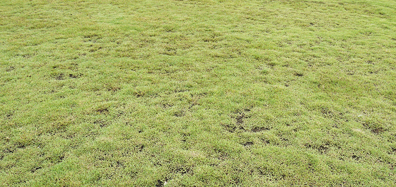 Grass with dead patches by srckomkrit, 123RF